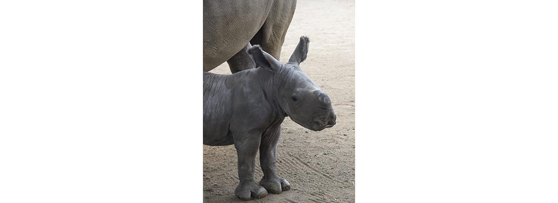 Rhino-400x1100-01