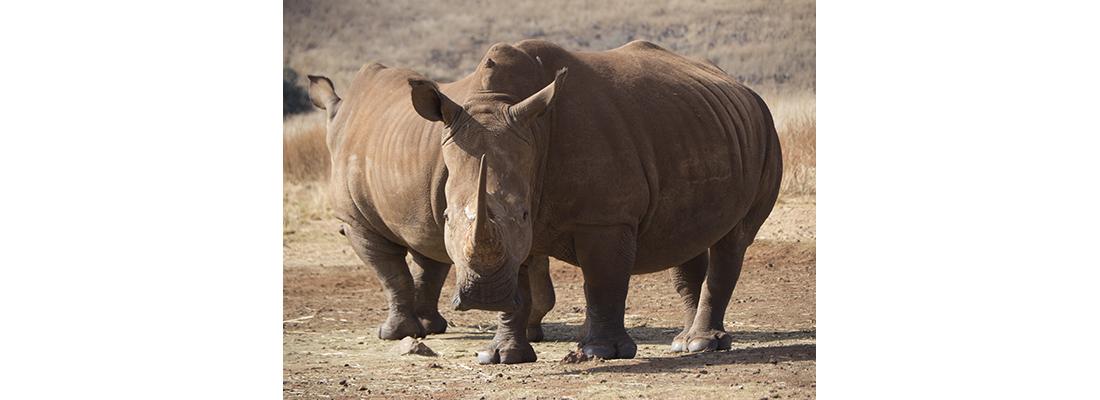 Rhino-400x1100-08