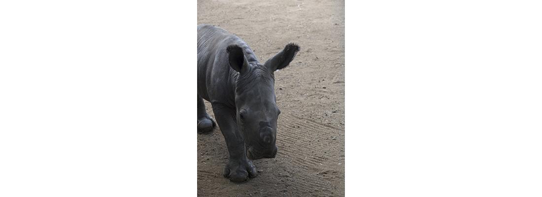 Rhino-400x1100-11