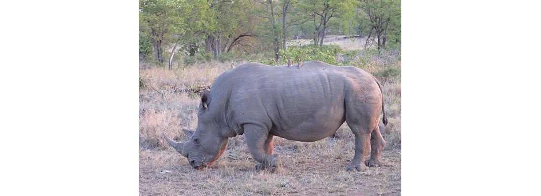 Rhino-400x1100-14