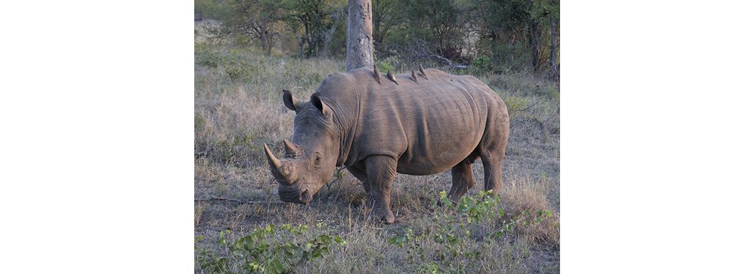 Rhino-400x1100-15