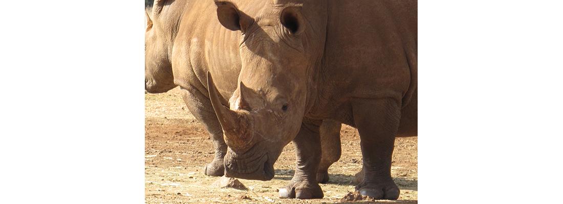 Rhino-400x1100-18