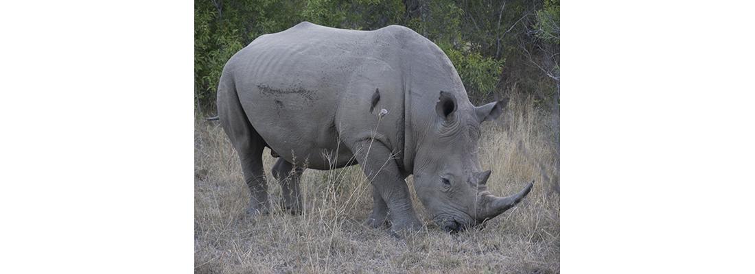 Rhino-400x1100-21