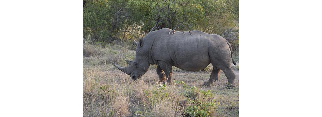 Rhino-400x1100-22