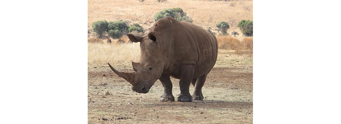 Rhino-400x1100-23