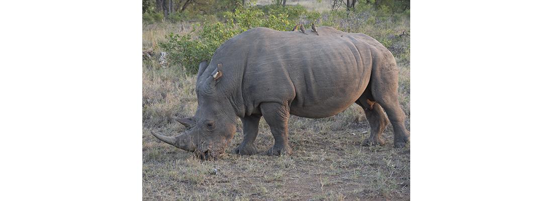 Rhino-400x1100-26